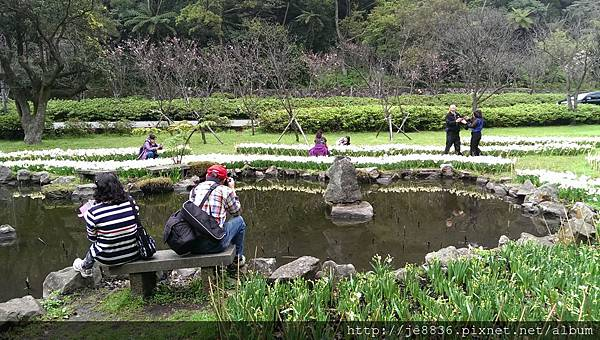 0226湖山綠地水仙 (19).jpg