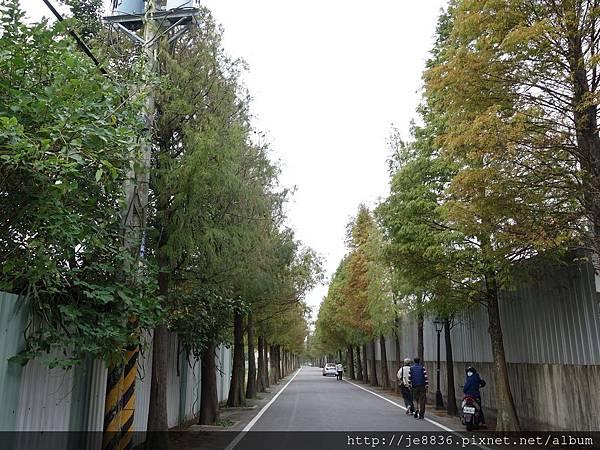 1203大溪~落羽松大道 (20).JPG