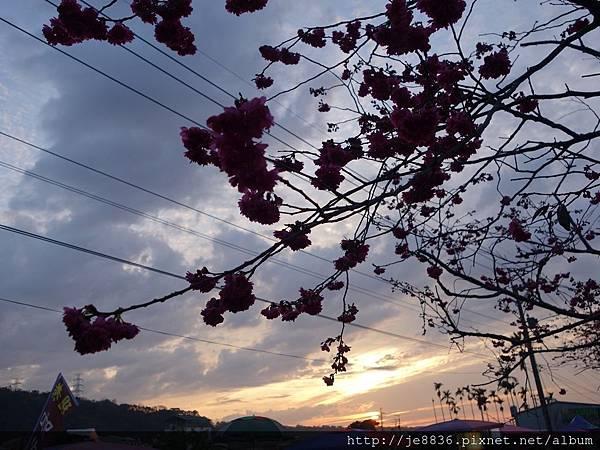 0228泰安櫻花 (33).JPG