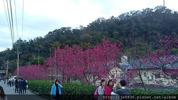 0228泰安櫻花手機版 (15).jpg