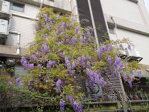 0410法國小鎮紫藤季 (4).JPG