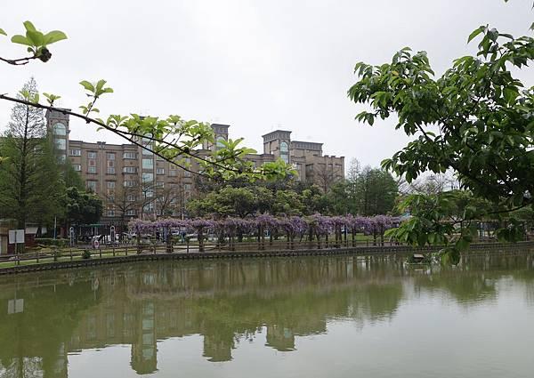 0408大湖公園紫藤 (4).JPG