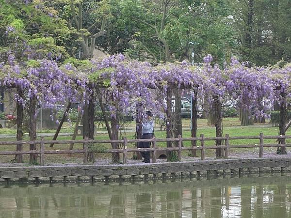 0408大湖公園紫藤 (11).JPG