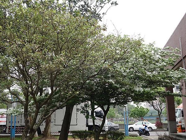 0408大湖公園紫藤 (20).JPG