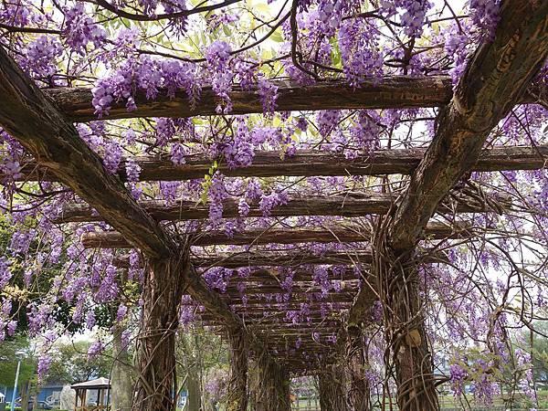 0408大湖公園紫藤 (27).JPG