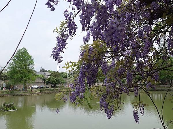 0410大湖公園紫藤 (14).JPG