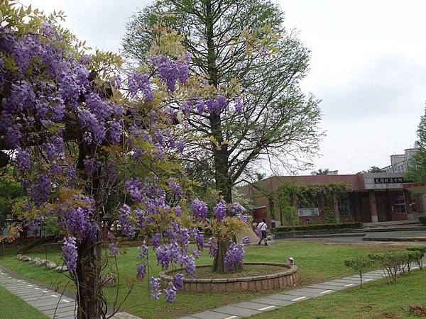 0410大湖公園紫藤 (19).JPG