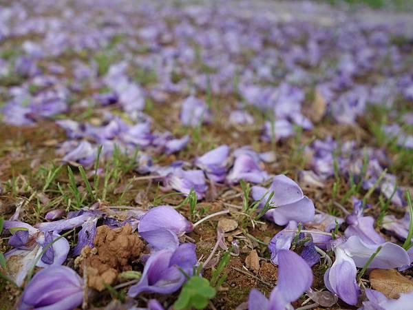 0410大湖公園紫藤 (20).JPG