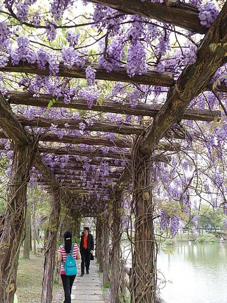 0410大湖公園紫藤 (25).JPG
