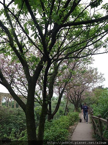 0408三芝三生步道櫻花季 (14).JPG