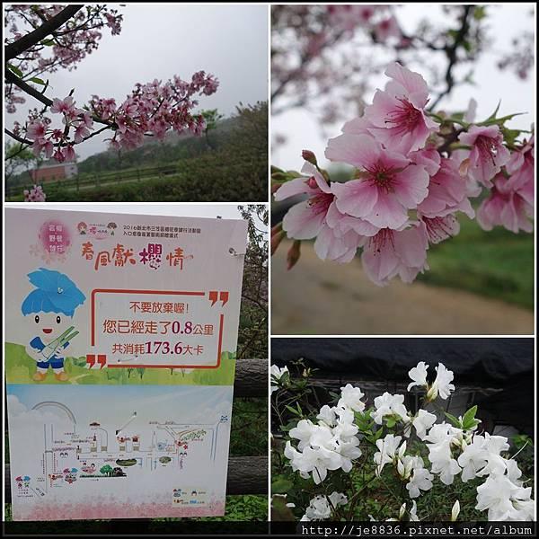 0408三芝三生步道櫻花季 (29).JPG