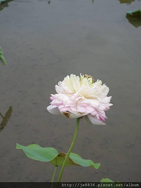 0612荷馨蓮園 (18).JPG