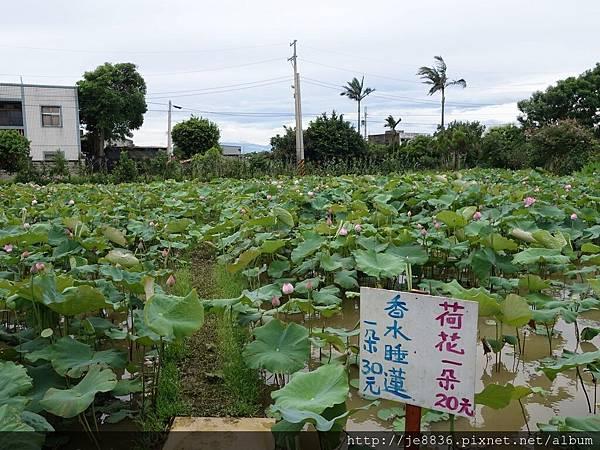0612荷馨蓮園 (51).JPG