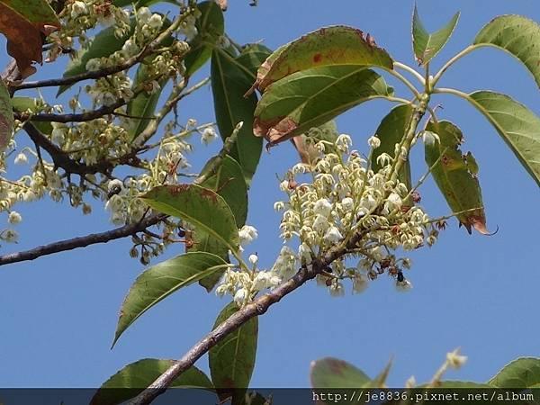 0820泰安~橄欖樹 (9).JPG