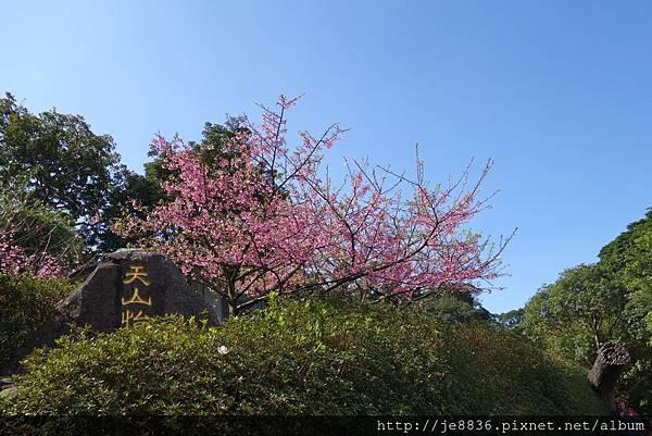 0215天元宮三色櫻 (14).JPG