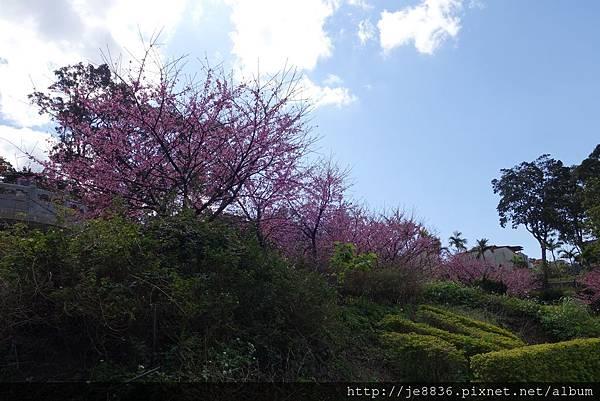 0215天元宮三色櫻 (38).JPG