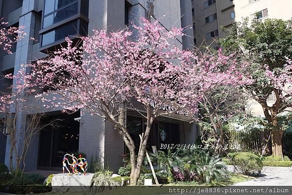0214林口最美的櫻花 (2).JPG