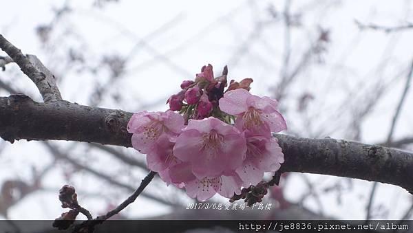 0306恩愛農場富士櫻 (23).JPG