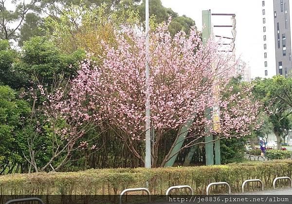 0314運動公園櫻花 (1).jpg