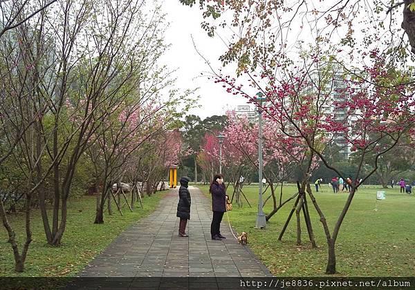 0314運動公園櫻花 (5).jpg