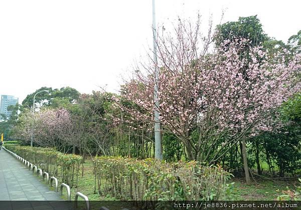 0314運動公園櫻花 (6).jpg