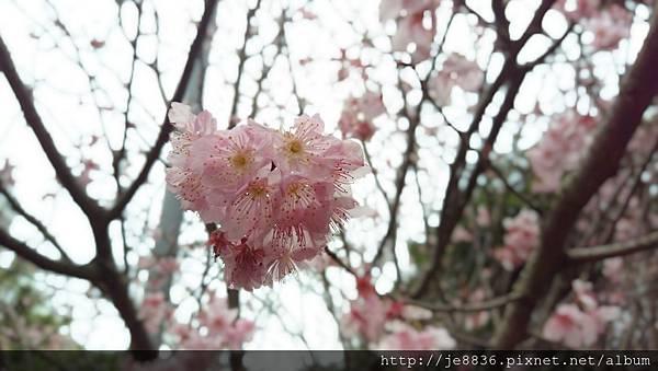 0314運動公園櫻花 (7).jpg