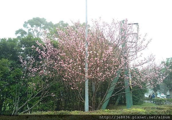 0318運動公園櫻花 (4).jpg
