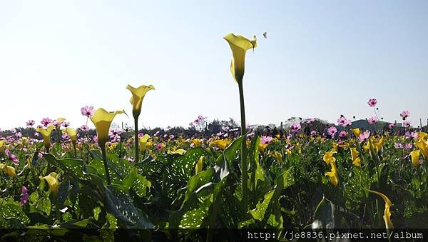 0403桃園彩色海芋節 (38).JPG