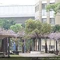 0406崇林紫藤花廊 (1).JPG
