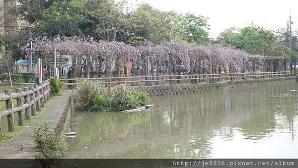 0407大湖紫藤花廊 (3).JPG