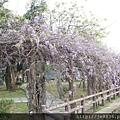 0407大湖紫藤花廊 (12).JPG