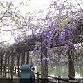 0407大湖紫藤花廊 (13).JPG