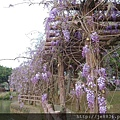 0407大湖紫藤花廊 (21).JPG