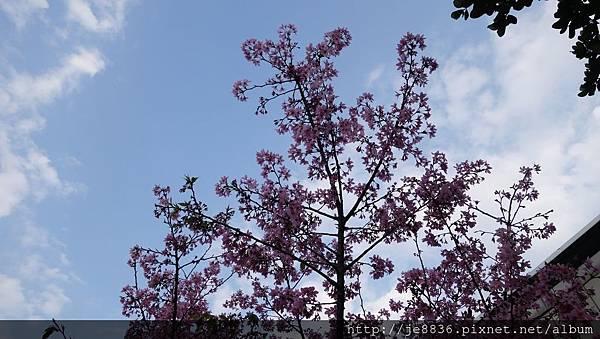 0407大湖紫藤花廊 (32).JPG
