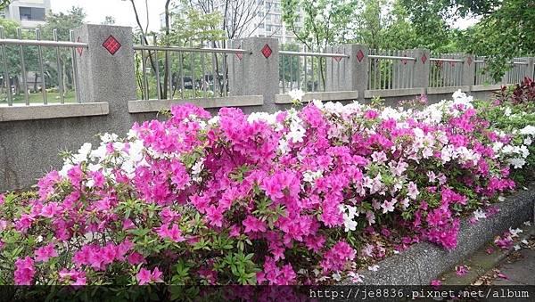 0415大湖公園紫藤爆開 (16).JPG