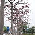 0415龜山木棉花 (5).JPG