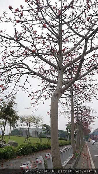 0415龜山木棉花 (9).JPG