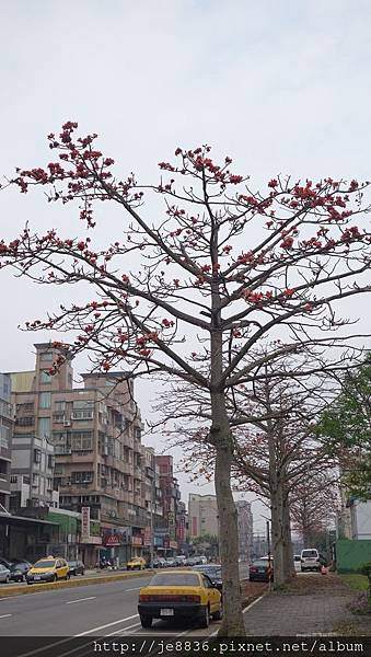 0415龜山木棉花 (11).JPG
