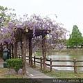 0410大湖紫藤 (1).JPG
