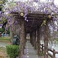 0410大湖紫藤 (3).JPG