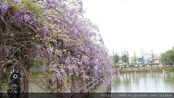 0410大湖紫藤 (6).JPG