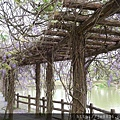 0410大湖紫藤 (7).JPG