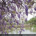 0410大湖紫藤 (8).JPG