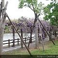 0410大湖紫藤 (12).JPG