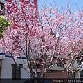 0403竹林寺櫻花 (42).JPG