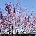 0403竹林寺櫻花 (44).JPG