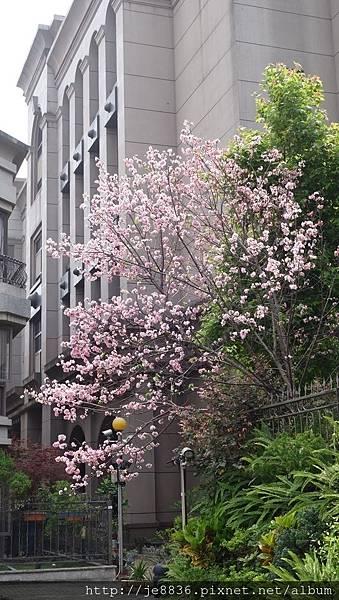 0504新林步道賞桐 (91).JPG