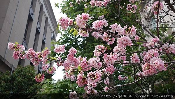 0504新林步道賞桐 (93).JPG