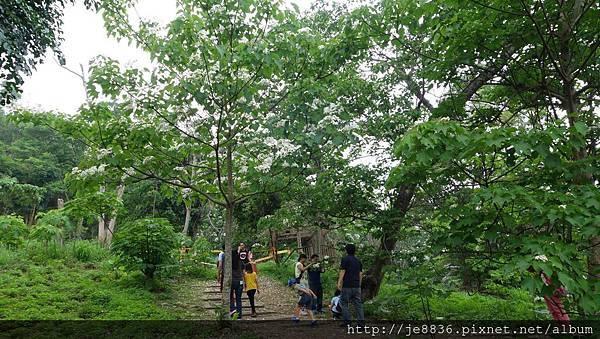 0506荷苞山桐花 (51).jpg