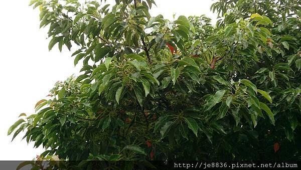 0615錫蘭橄欖1.jpg